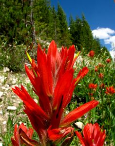 Castilleja linariaefolia (Indian Paintbrush) Native to Utah. Difficult to establish; Trees And Shrubs, Trees To Plant, Yellowstone National Park, National Parks, Pretty Flowers, Wild Flowers, Wyoming State, Indian Paintbrush, Visitors Bureau