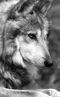 Tragically, another Mexican gray wolf has been killed. This wolf mother, known as alpha female 1108 was a br. Beautiful Creatures, Animals Beautiful, Cute Animals, Wild Animals, Baby Animals, Wolf Spirit, My Spirit Animal, Wolf Pictures, Animal Pictures