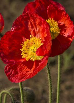 Red Poppies by Bruce Frye