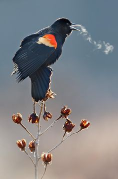 A red-winged blackbird calls on a cold wintry day.