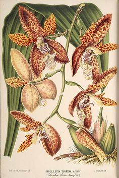 File:Houlletia tigrina - Illustration horticole vol 16 pl 612 (1869).jpg