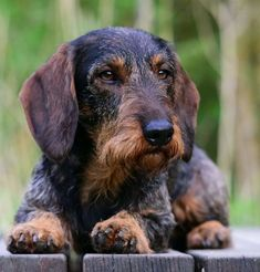 Dachshunds, Doggies, Wire Haired Dachshund, Family Dogs, Beautiful Creatures, Puppy Love, Shows, Puppies, Welsh