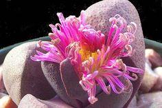 Pleiospilos nelii 'Royal Flush' flower