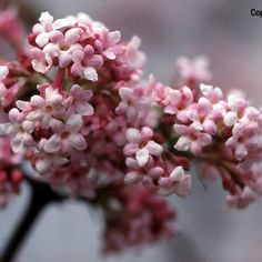 viburnum davidii is an evergreen shrub with clusters of. Black Bedroom Furniture Sets. Home Design Ideas