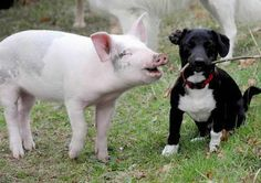 """You're one funny pup!"" #AnimalFriendship #Pig & the #Pup"