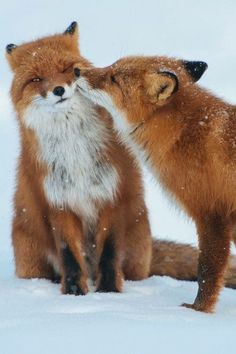Fox in love…!