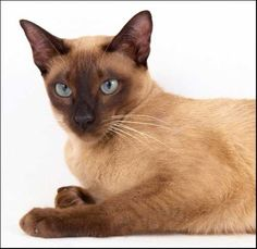 Tonkinese Cat, Spotted Cat, Korat, Cat Species, Types Of Cats, Grey Cats, Cat Sitting, Siamese Cats, Cat Breeds