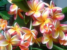"The plumeria ""Nebel's Rainbow""."
