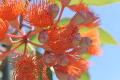 Flowering gums are great feature trees for almost any garden