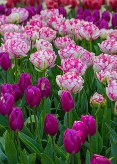 Tulips Garden, Tulips Flowers, Daffodils, Spring Flowers, Planting Flowers, Beautiful Rose Flowers, Exotic Flowers, Amazing Flowers, Beautiful Gardens