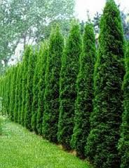 thuja occidentalis smaragd - Google Search