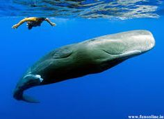 Una ballena azul solo adulto puede consumir 3,6000kg de krill al día.//  A single adult blue whale can consume 3,6000kg of krill a day.