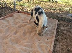 "Sandbox or Sand pit: A sand box is a great enrichment activity for pigs. They enjoy rooting around in the soft sand. Be sure to supervise your pig to avoid eating the sand. You can hide treats like popcorn or cheerios in the sand and watch them ""treasure Pig Shelter, Micro Mini Pig, Pig Hunting, Pot Belly Pigs, Pig Pen, Teacup Pigs, Enrichment Activities, Pig Farming, Pet Pigs"