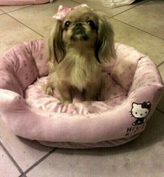 my spoiled pekingese on her hello kitty bed (This picture is from my sister from another mister! A Sable Pekingese on a Hello Kitty bed? Or mortal enemies. Tiny Puppies, Cute Puppies, Cute Dogs, Pekingese Puppies, Teacup Puppies, Fu Dog, Dog Cat, Hello Kitty Bed, Baby Animals
