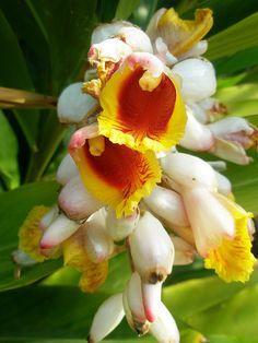 Alpinia zerumbet - Azucena de porcelana