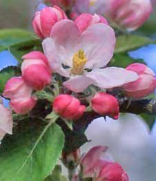 Apple blossom tree (Arkansas state flower)