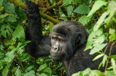Volcano National Park, National Parks, Rwanda Travel, Gorilla Trekking, Safari Holidays, Tanzania Safari, Mountain Gorilla, Wildlife Conservation, African Safari