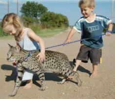 A1 savanah cat!!!