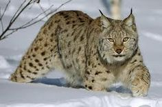 The Eurasian Lynx is the largest lynx species, ranging in length from 80-130cm and standing about 60-75cm at the shoulder. Description from speakzeasy.wordpress.com. I searched for this on bing.com/images