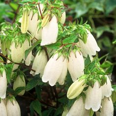 Campanula punctata White Bells - 1 plant Buy online order yours now