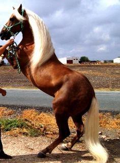 Palomino Andalusian horse.