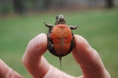 The perfect turtle that I want!!!