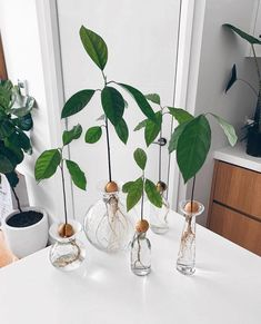 Real talk: I've tried to grow an avocado plant from its seed many, many times and it's only worked once, but this snap from has me hankering to give it another go, because what's better than 🥑 🥑 🥑? (also gah! So pretty! Indoor Garden, Garden Plants, Indoor Plants, Indoor Trees, Water Plants, Decoration Plante, House Plants Decor, Interior Plants, Houseplants