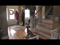 Dog Training: How to train a Vizsla to Come, Sit, Heel, Loose Leash Walking with Distractions