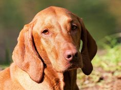 Free Image on Pixabay - Dog, Brown, Hungarian Vizsla Puppy Barking, Beagle Puppy, Vizsla Dog, Kittens And Puppies, Cute Puppies, Best Dog Breeds, Gerbil, Free Dogs, Hunting Dogs