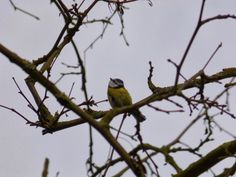 Nature from my window: Mésange bleue (Bluetit)