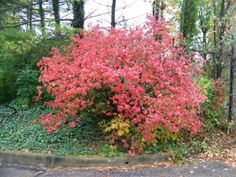 Koreanspice vibernum (carlesii) in the fall: another must-have!