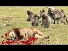 León vs Babuino - Lucha Real Mono vs León (Hay que verlo), Animales Salv...