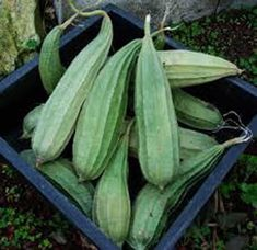 Gourd Luffa , Gourd Luffa sponge On the vine, these gourds can reach anywhere from 6 inches to 2 1/2 feet long, and about 4 to 7 inches in diameter. They ripen to dark green in late summer, and should be left on the vine until the skin begins to shrivel. When this occurs, harvest them and scrub the skin away, revealing the porous, dense network of tan-colored matter within. They will be full of seeds; just cut the gourd to desired size and shake out the seeds. They're ready to use! Sow seeds…