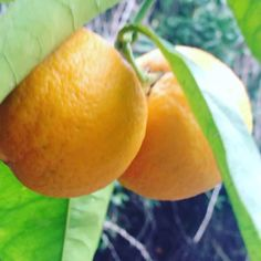 Picking up fresh oranges from our orange farm in chania crete !