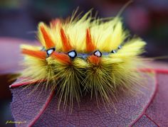 Sycamore Moth Caterpillar | by forbesimages - One of the nicest caterpillars i've seen, it's hard to believe it turns into a plain coloured moth !