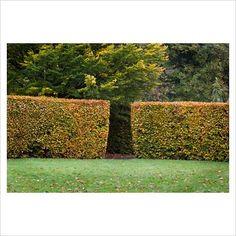 Gap in beech hedge
