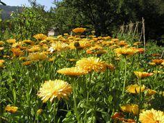 Ringblomst i kjøkken- og urtehagen i Rosendal Have.  Marigold in the kitchen and herb garden in Rosendal Gardens.