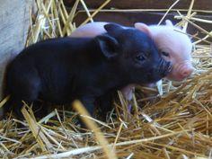 micro pigs