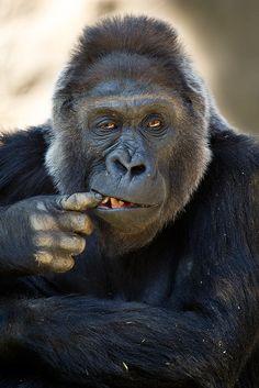 Lackadaisical #gorilla ~ Darrell Ybarrondo ✿⊱╮