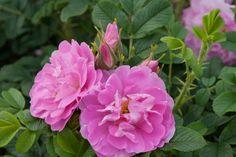 Image result for jens munk rose