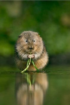 Water Vole ♥    The European water vole or northern water vole, is a semi-aquatic rodent. It is often informally called the water rat, although it only superficially resembles a true rat. Water voles have rounder noses than rats, deep brown fur, chubby faces and short fuzzy ears; unlike rats their tails, paws and ears are covered with hair.