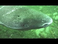 greenland shark © eric couture sharks greenland  greenland shark © eric couture sharks greenland shark shark and marine life