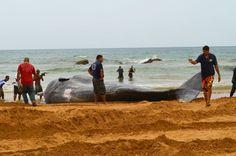 El gran tamaño del animal atrajo a muchos curiosos que deseaban fotografiarse junto a él. Foto José E. Maldonado / www.miprv.com