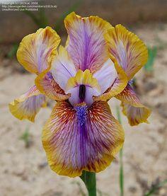 Arilbred Iris 'Genetic Artist' (Iris )