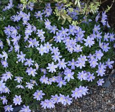 Picture of Anemone nemorosa 'Royal Blue' Alpine Garden, Lavender Blue, Garden Beds, Blue Flowers, Perennials, Peonies, Royal Blue, Purple, Plants