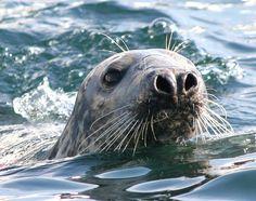 Seals off Looe Island, Looe, Cornwall August 2013
