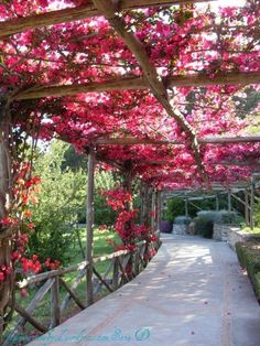 beautiful bougainvillea on pergola or arbor in backyard