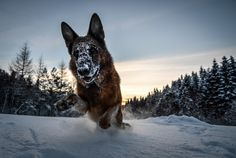 Free german shepherd backround - german shepherd category