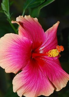"""Rise and shine Hibiscus face"" ... by Connie Fox on fineartamerica"