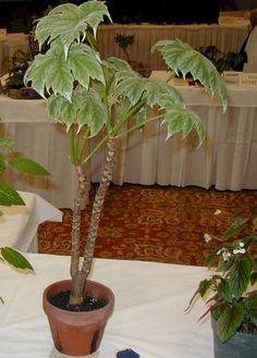 begonia ludwigii
